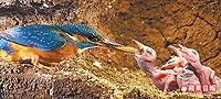 母翠鳥將魚銜回巢穴 6.23..jpg