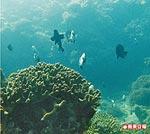 鹿角珊瑚旁的熱帶魚群 7.1..jpg