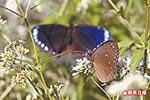 紫斑蝶 8.20..jpg