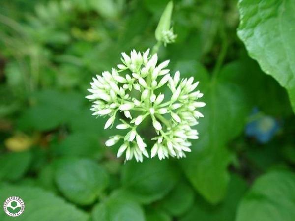 小花蔓澤蘭1.jpg