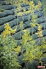 銀杏森林的銀杏葉 8.3..jpg