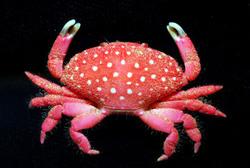 世界新種螃蟹 1.4..jpg