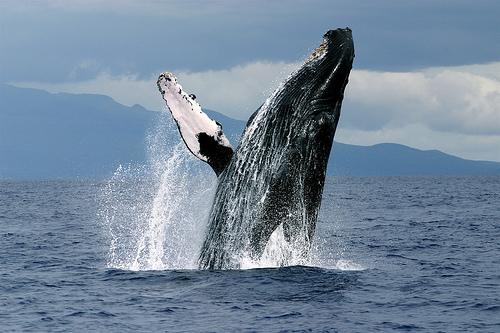 大翅鯨.jpg