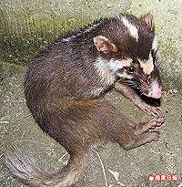 鼬獾愛偷吃1.6..jpg