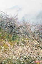 信義鄉 寒梅似雪 2.jpg