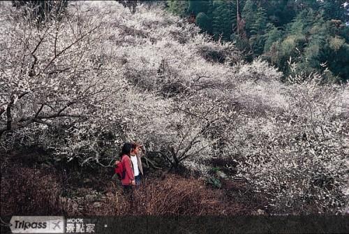 南投信義梅花綻放 1.12..jpg