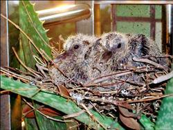 斑鳩花盆築巢1.15..jpg