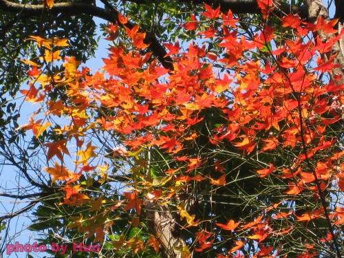 草山楓香紅似火 3.jpg