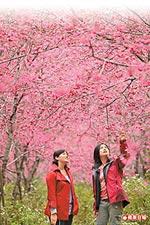 棲蘭賞櫻花  2.jpg