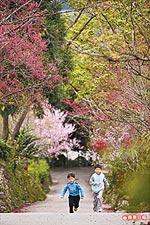 棲蘭賞櫻花3.jpg