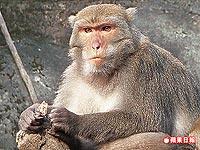 台灣獼猴2.16..jpg
