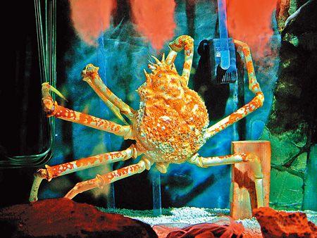 甘氏巨螯蟹 3.3..jpg