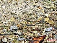 櫻花鉤吻鮭2.jpg
