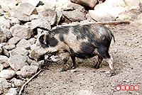 台灣山豬 3.5..jpg