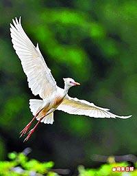 黃頭鷺 3.11..jpg