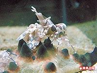海星蝦2.jpg