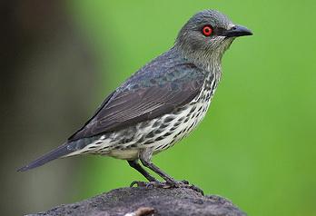 亞洲輝掠鳥a.jpg