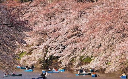 櫻花盛開了 3.22..jpg