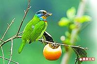 斑斕五色鳥 3.23..jpg
