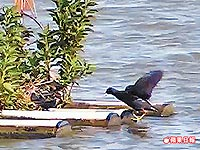 紅冠水雞 回巢 3.31..jpg