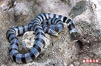 黃唇青斑海蛇 4.27..jpg