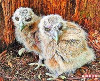 黃魚鴞有後 2.jpg