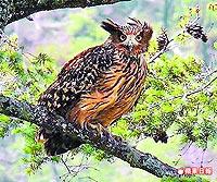 黃魚鴞有後 5.7..jpg