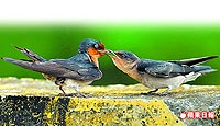 洋燕母鳥 5.9..jpg