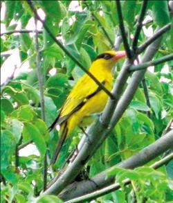 黃鸝鳥 5.14..jpg