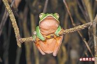 橙腹樹蛙 5.23..jpg