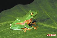 橙腹樹蛙 2.jpg