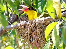 黃鸝親鳥餵食 5.25..jpg