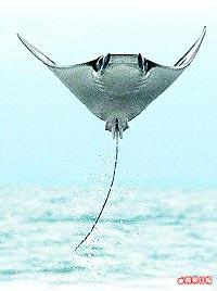 蝠魟 躍海面 8.16..jpg