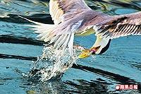 鳳頭燕鷗 俯衝吃魚2.jpg