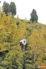 黃葉的銀杏林 12.2..jpg