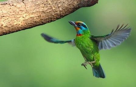 五色鳥2.jpg