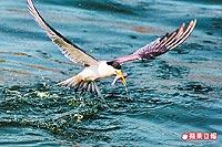 鳳頭燕鷗 俯衝吃魚1.jpg