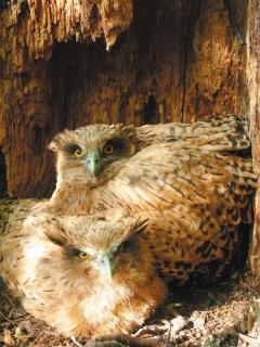 黃魚鴞 兩隻幼鳥 5.26..jpg