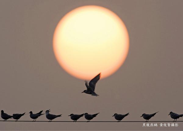 黑腹燕鷗3.jpg