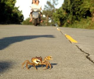 陸蟹過馬路.jpg