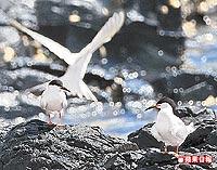 遠從澳洲繫放的紅燕鷗 6.28..jpg
