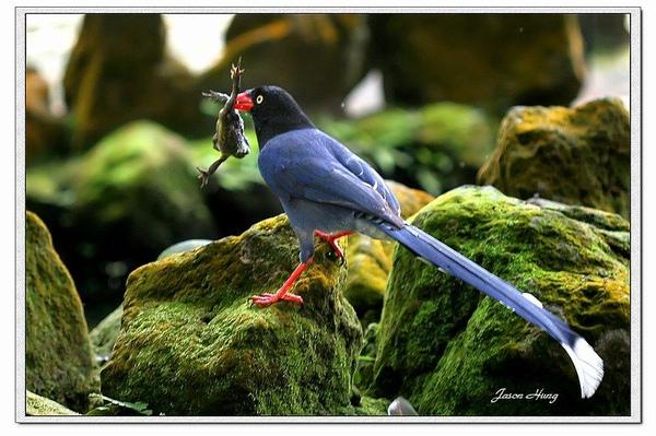 台灣藍鵲2.jpg