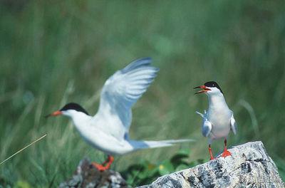 紅燕鷗.jpg