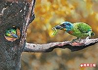 五色鳥 餵雛12.25..jpg