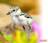 東方環頸鴴幼鳥 7.25..jpg
