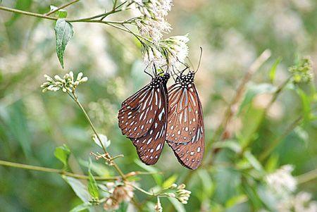 紫斑蝶在霞雲坪隨處可見8.11..jpg
