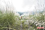 中港溪的甜根子草 10.5..jpg