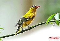 黃鸝鳥 7.10..jpg