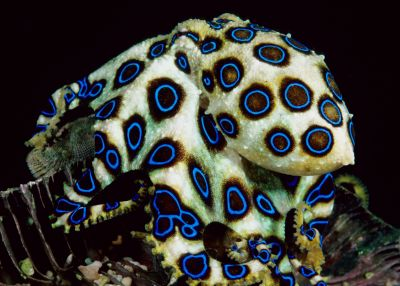藍環章魚2.jpg