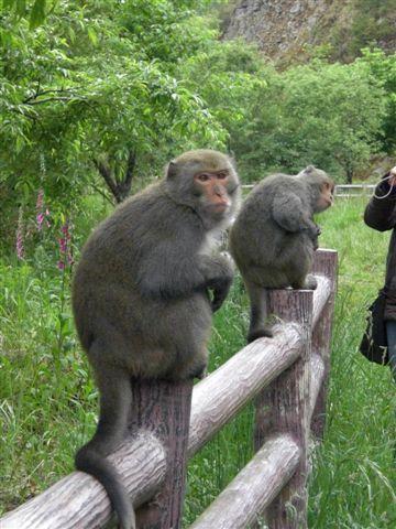 阿里山彌猴.jpg